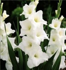 Cut Flowers, Gladiola