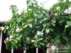Beaumontia Grande Flora