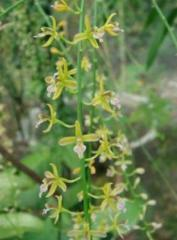 Acriopsis liliifolia