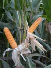 Seeds of corn breeding CW 408