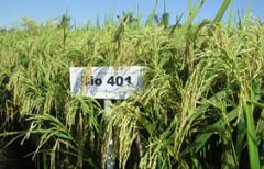 Rice seeds Elite BIO 401