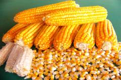 Corn seeds Elite BIO 9909