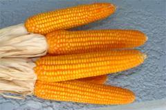 Corn Sugar EliteHealer 101