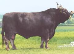 Dairy Meat Breeds  Braunvieh