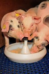 Milk for pigs Nuklospray