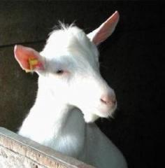 Sprayfo Goat kids