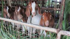 Next Batch of Commercial Boer Bucks for Sale