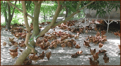 Free-range chickens French breeds