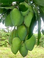 Mango, Mangifera indica L.