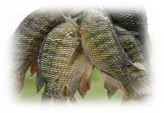 Fish Fresh Tilapia