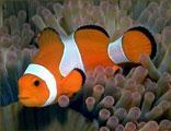 Marine Fish Ocellaris