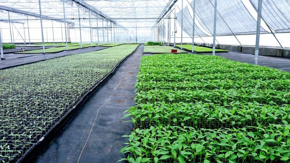 greenhouse_multi_span_640sqm_20mx32m
