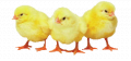 Biokorma for Broiler Chickens Chichy 100 Booster