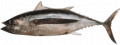 Tombo Albacore Tuna