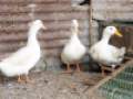 Poultry Bred Ducks